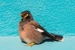 Bird (Mynas or Sturnidae) emotional shock Royalty Free Stock Images