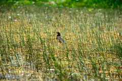 Bird name Chinese Pond Heron Royalty Free Stock Image