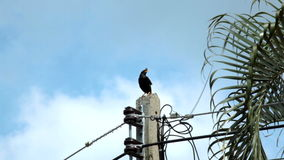 Bird, names Common Myna or Sturndae bird standing and singing on lighting electric pole stock video footage