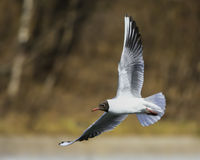 Bird in natural habitat. A Seagull Flies commonly having spread wings Royalty Free Stock Photos