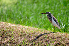 Bird in nature (Chinese Pond Heron) Stock Photo