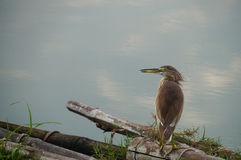 Bird in nature (Chinese Pond Heron) Stock Image