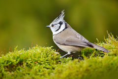 Bird in the nature green moss habitat. Crested Tit sitting, Songbird on beautiful yellow lichen branch with clear green background. Slovakia Stock Photos