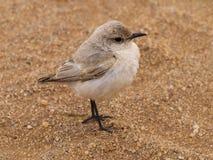 Bird. Near Swakopmund, Namibia, Africa Royalty Free Stock Photography