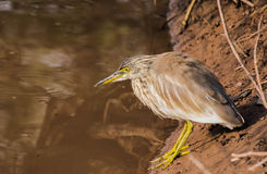 Bird near water. A fish catcher bird near water body in ranthambhore national park in zone 10 Royalty Free Stock Photo