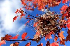 Bird nest. Empty bird nest on maple branch  in the atumn Royalty Free Stock Photo