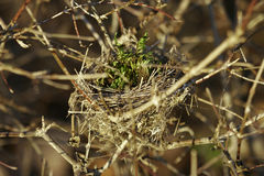 Bird nest. Deep in dry bush royalty free stock images