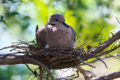 Bird on a nest. Tropical bird sitting on a nest Royalty Free Stock Image