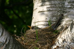 Bird in the nest Stock Photos
