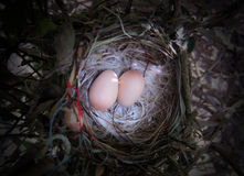 Bird Nest. Discovered a bird nest with two small eggs Stock Photo