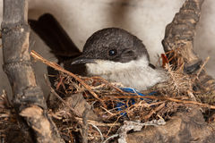 Bird on nest. Female fiscal flycatcher bird sitting in a nest of dry twigs and grass Royalty Free Stock Image