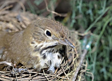 Bird in Nest Royalty Free Stock Image