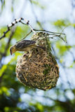 Bird and nest. Bird perched upon nest hanging on end of branch Stock Image