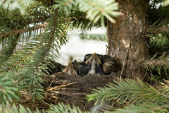 Bird Nest. A bird nest with baby robins waiting for food Royalty Free Stock Photos