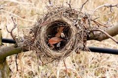 Bird nest on an apple tree Stock Image