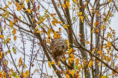 A bird nest blend into Autumn leaves colors Royalty Free Stock Photography