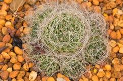 'Bird Nest' Cactus. Top View Closeup of Mammillaria Camptotricha Birds Nest Royalty Free Stock Photo