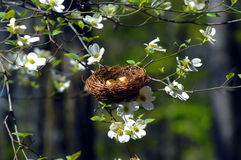 Bird Nest in Dogwood. Bird nest nestles in the branches of a blooming Dogwood Tree in Garvin's Woodland Garden in Hot Springs, Arkansas Stock Images