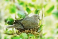 Bird in the nest. Dove, bird in the family nest, home Stock Image