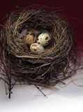 Bird nest with eggs Royalty Free Stock Photography