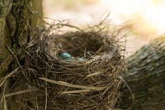 Bird nest with eggs. Blue robin eggs in bird nest in tree Stock Images