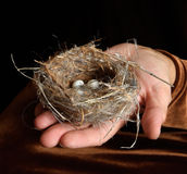 Bird Nest with Eggs in Hand Stock Photo