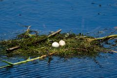 Bird nest and eggs on water in Danube Delta. Wildlife birds and birdwatching photography and a common sighting for tourists in the Danube Delta, Eastern Europe royalty free stock photography