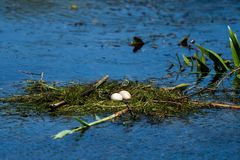 Bird nest and eggs on water in Danube Delta. Wildlife birds and birdwatching photography and a common sighting for tourists in the Danube Delta, Eastern Europe stock photo