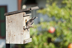 Bird nest and European starling . Bird nest and European starling fly back to feed a nestling in germany stock images