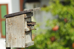 Bird nest and European starling . Bird nest and European starling fly back to feed a nestling in germany royalty free stock image