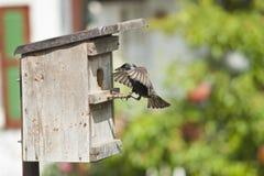 Bird nest and European starling . Bird nest and European starling fly back to feed a nestling in germany royalty free stock photos