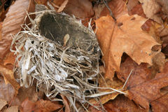 Bird Nest on Fallen Maple Leaves Stock Images