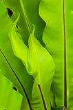 Bird Nest Fern Royalty Free Stock Photography