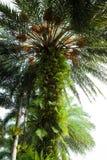 Bird nest fern Royalty Free Stock Photography