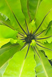 Bird nest fern Stock Photo