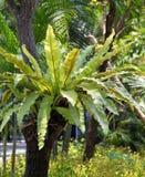Bird nest fern on tree. Bird nest fern on a tree Royalty Free Stock Photography