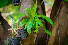 Bird nest fern. On a tree Stock Photo
