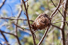 Bird Nest in Fork of Tree Stock Image