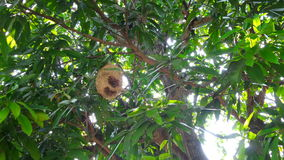 Bird nest hang on mango tree Stock Image