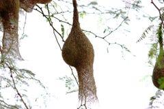 Bird nest. A hanging nest of a bird on a tree stock photos