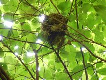 Bird nest in a hazelnut shrub royalty free stock image
