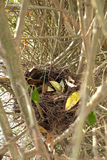 Bird nest. In a hedge Stock Image