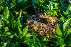 Bird nest hidden in a bush with green leaves, birds home, animal crafted objects. A Bird nest hidden in a bush with green leaves, birds home, animal crafted stock images