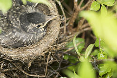 Bird in nest Stock Images