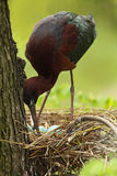 Bird in the nest. Nesting time. Brown bird in the nest. Nest with eggs. Glossy Ibis, Plegadis falcinellus, in the nest. Ibis in th Royalty Free Stock Photo