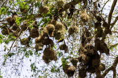 Bird nest. The bird nests in Morogoro of Tanzania Royalty Free Stock Images