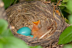 Bird Nest with One Chick. A photo of a Robin's nest with one newly hatched chick and two eggs still to hatch Stock Photos