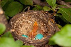 Bird Nest with One Chick. A photo of a Robin's nest with one newly hatched chick and two eggs still to hatch Royalty Free Stock Images