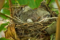Bird nest with one egg in the bush Stock Image