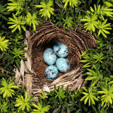 Bird Nest. On pine tree branches with four blue eggs inside as a symbol of vulnerability fragility and investment safety and conservation for nature and the stock photography
